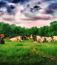 Nisso-Studios-Fine_Art-Prints-For-Sale-landscape-cows-0936